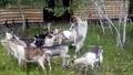 Для  любителей породистых  коз